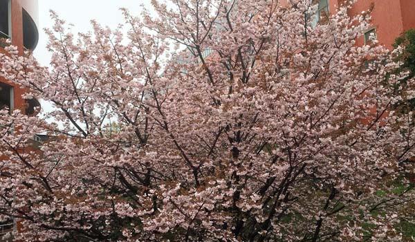 自由ケ丘高校 桜